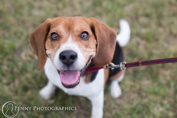 Beagle puppy looking directly at camera