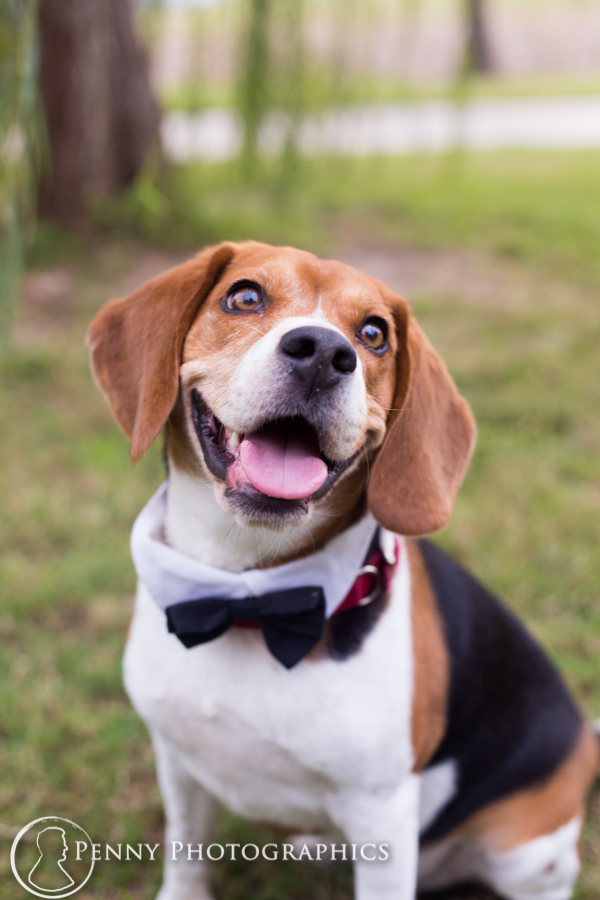 Dapper beagle dog in a bow tie